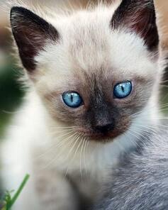 siamese cat and kittens for sale