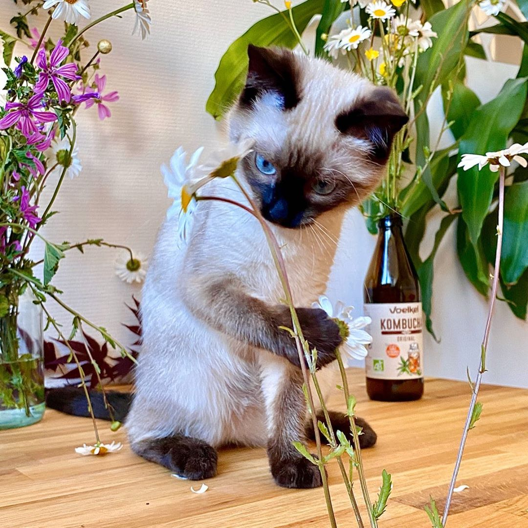 Siamese cat for sale